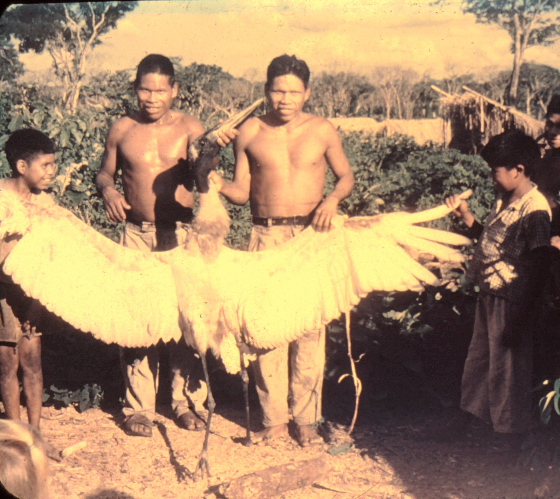 Ayoré men kill stork-like crane, to harvest feathers for neck adornments.