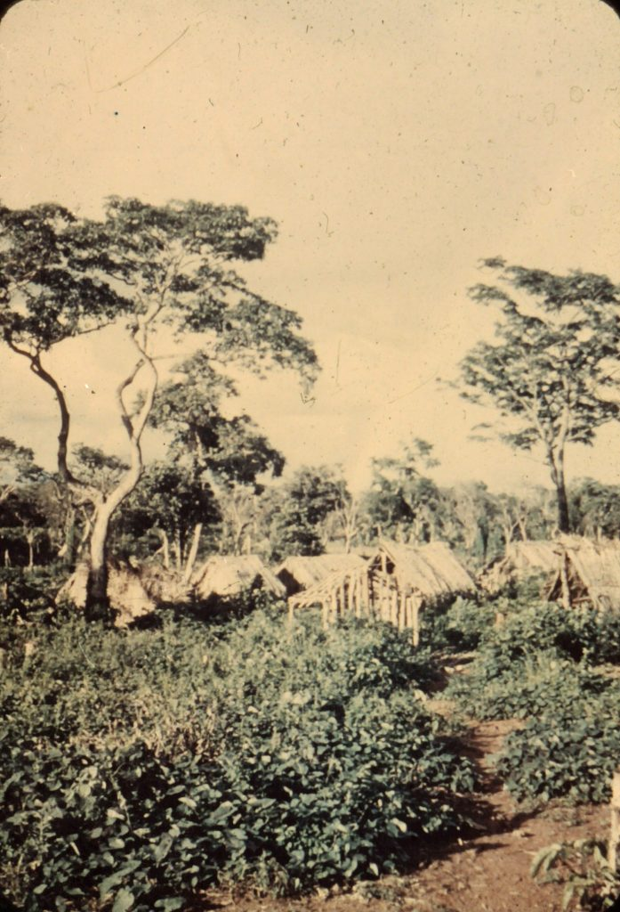 Ayoréos build houses for the first time to establish a more permanent village - soon after contact in late 1940's.
